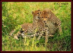 FEMALE CHEETAH WITH HER CUB (Acinonyx jubatus).....MASAI MARA....SEPT 2017. (M Z Malik) Tags: nikon d3x 200400mm14afs kenya africa safari wildlife masaimara keekoroklodge exoticafricanwildlife exoticafricancats flickrbigcats cheetahfamily cheetahcubs ngc npc