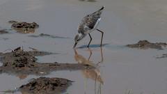 069.2 Poelruiter-20051112-J0511-4134 (dirkvanmourik) Tags: aves bird lakemanyara marshsandpiper nationalpark oiseaux poelruiter tanzania tringastagnatilis vogel