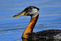 Red-necked Grebe (jt893x) Tags: 150600mm bird breeding d500 grebe jt893x nikon nikond500 podicepsgrisegena portrait profile redneckedgrebe sigma sigma150600mmf563dgoshsms thesunshinegroup coth alittlebeauty coth5