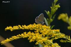 Argus bleu sur verge d'or (BPBP42) Tags: papillon butterfly fleur flower animal insecte