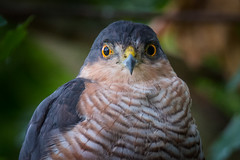 Connection (Andrew_Leggett) Tags: sparrowhawk accipiternisus wild hawk stare staring gaze piercing eyes amber gloom wildlife nature natural eyecontact connection