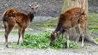 Prins Alfredhert - Diergaarde Blijdorp. -Visayan spotted deer