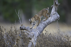Bonus - IMG_7962-3 (arvind agrawal) Tags: bobcat lynxrufus wildlife deadtree canon eos idx 1dx 600mm arvindagrawal