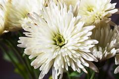 DSC_1627 Daisy (PeaTJay) Tags: nikond750 sigma reading lowerearley berkshire macro micro closeups gardens indoors nature flora fauna plants flowers daisies daisy