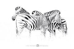 Steppezebra of gewone zebra - Equus quagga (rinus64) Tags: southafrica zuidafrika krugernationalpark d500 nikon steppezebra gewonezebra equusquagga