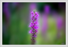 Sony A7RII with New Petzal 2.2/85mm@f/2.2 (Dierk Topp) Tags: a7rii a7rm2 dof ilce7rii ilce7rm2 macro newpetzal2285mm sonya7rii blumen bokeh flowers nature petzval sony
