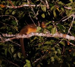 Kinkajou (tim ellis) Tags: holiday amazon iracema rionegro animal kinkajou potosflavus manaus brazil