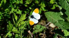 Aurorafalter (Tobi NDH) Tags: aurorafalter anthochariscardamines orangetip schmetterling butterfly wildlife aurora mariposaaurora mariposamusgosa aurore oranjetipje zorzynekrzeżuchowiec hajnalpírlepke aurorasommerfugl зорька аврора auroraperhonen aurorafjäril зоряницяаврора