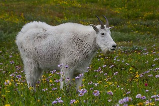 IMG_1367 mountain goat