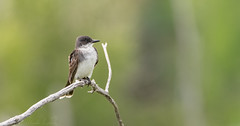 Tyran tritri // Eastern Kingbird (Alexandre Légaré) Tags: tyran tritri eastern kingbird tyrannus bird oiseau animal wildlife nature nikon d7500