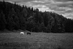 Black and White (Maria Zaharieva) Tags: black white blackandwhite bw monochrome horses horse animal animals landscape nature trees forest pines woods yinandyang clouds cloudsc cloudscape bulgaria contrast shadows travel traveling