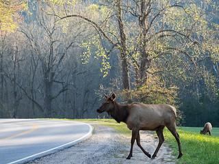 IMGPJ06229C_Fk - Great Smoky Mountain National Park - Elk