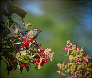 Gray Catbird in the Highbush Cranberry Shrub