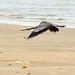 Heron Takes Wing