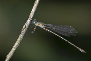 houtpantserjuffer- Willow Emerald Damselfly (Chalcolestes viridis)