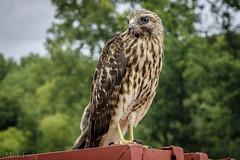 Strike a pose (*Ranger*) Tags: nikond3300 nature wildlife raptor birdofprey bird hawk edgarevinsstatepark tennessee usa