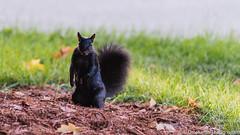 Squirrel (in Explore) (umakantht) Tags: animal black d810 nkon squirrel