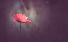 Poppy (Dhina A) Tags: sony a7rii ilce7rm2 a7r2 a7r minolta md zoom 3570mm f35 minoltamdzoom3570mmf35 1983 14 macro sharp bokeh constantf35 modified f28 flower