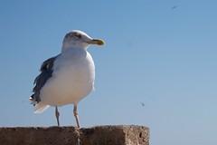 Anticipation (pan_orama) Tags: marokko maroc morocco essaouira beach harbour seagulls fish sun color travel