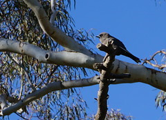 singing bird in a tree (spelio) Tags: act canberra australia