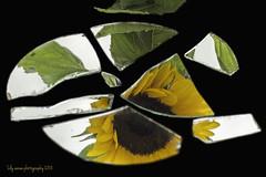 There is a crack in everything. That's how the light comes in. Leonard Cohen (aenee) Tags: aenee nikkor50mm118d nikond7100 mirror spiegel stilllife cracked smileonsaturday sunflower zonnebloem blackbackground yellow geel flower bloem dsc6204 20180922