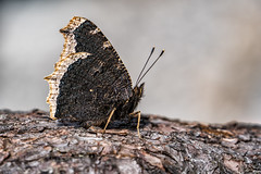 Trauermantel (stefangruber82) Tags: nymphalisantiopa schmetterling alpen alps tirol tyrol butterfly mourningcloak