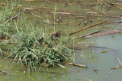 Gallinula chloropus (CarloAlessioCozzolino) Tags: gallinelladacqua animali animals quartusantelena sardegna sardinia saline saltworks uccello bird