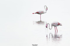 Duo of flamingos (Francesca Murroni ┃Wildlife Photographer) Tags: animals fauna birds birdwatching ornithology pinkflamingos flamingos phoenicopterusroseus fotografianaturalistica fenicotteri wildlife wildlifephotography stagnobaiocca issolinas