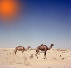 Y por qué el sol es tan mal amigo  del caminante en el desierto? - Neruda (Lewitus) Tags: neruda hasselblad500c scannedslide camels israel sinai sun desert