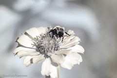 Infrared (Brian M Hale) Tags: 720nm 72 nm nanometer ir infrared infra red outside outdoors nature natural insect tower hill botanic garden flower botany botanical newengland new england ma mass massachusetts boylston brian hale brianhalephoto bee apiary bees