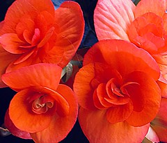 Begonia brilliance (D.Erickson) Tags: pacificnorthwest floweringplant flower orange color brilliant homegarden garden containergardening begonia iphoneography 2018 summer