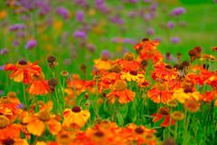 Meadow border (timnutt) Tags: garden xt2 border northamptonshire flowers plants flowersplants gardens fuji 35f2wr manor midlands 35mm fujifilm cotonmanor