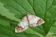 Ööliblikas (Jaan Keinaste) Tags: olympussh1 eesti estonia elusloodus fauna liblikas butterfly ööliblikas moth viljandimaa tipuküla soomaa