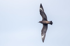 Arctic Skua (Simon Stobart) Tags: arctic skua juvenile dark morph stercorarius parasiticus flying north east england uk