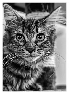 Kitten (6) (High ISO) Monochrome (Panasonic Lumix LX15 Compact)