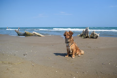 Laika a la Platja Trabucador (Hachimaki123) Tags: anima laika perro dog deltadelebre platjatrabucador