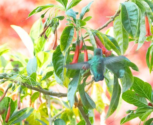 Hummingbird and iochroma