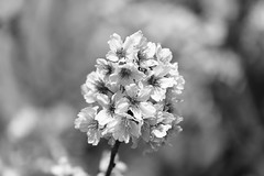 IMG_3934M Fade out (陳炯垣) Tags: flower blooming blossom floral petal spring nature monochrome