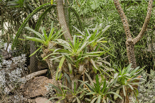 Pachypodium lamerei - Madagascar palm