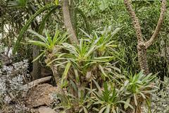 Pachypodium lamerei - Madagascar palm (a7m2) Tags: vienna tiergarten wüstenhaus pflanzen flora palmen kakteen sukkulenten botanik wüste sand schönbrunn besucher travel touristen echsen vögel madagaskar