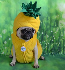 Still Life (Tina Style) (DaPuglet) Tags: stilllife fruit pineapple costume dog dogs pug pugs pet pets animal animals funny cute halloweeen parody coth5