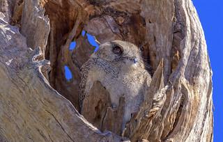 alice river - australian owlet-nightjar