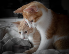 _DSC2160 (haschkemichael) Tags: domesticcat pets animal cute kitten mammal domesticanimals feline younganimal sleeping red looking whisker fur bed tired small beautiful tabby