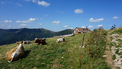 Les vaches au Kastelberg (Philippe Haumesser (+ 6000 000 view)) Tags: nature paysage paysages landscape landscapes montagne montagnes mountain mountains vaches cows animals ferme farmhouse sentier path vélo bicycle ciel sky nuages clouds panorama 169 vosges alsace elsass france hautrhin 68 sonyilce6000 sony 2018