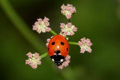Balanced 190718 IMG_0201 (clavius2) Tags: 7 spot ladybird coccinella 7punctata flower plant beetle insect macro north east england uk