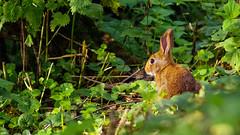 Lapinou bis (Alexandre LAVIGNE) Tags: maraisdisle pentaxk1 saintquentin tamronspaf70200mmf28dildifmacro faune lapin ambiance k1 lumière nature rabbit wild picardiehautsdefrance france