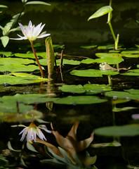 * (t*tomorrow) Tags: panasonic lumix gx8 100400mm 花 reflections flower