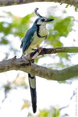 Urraca Copetona. White-throated Magpie-jay. Calocitta formosa (Daniel Sziklai G.) Tags: costarica jay urraca copetona whitethroated magpiejay calocittaformosa aves birds
