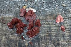 DSC_0107 (urmas ojango) Tags: limak limasieni slimemold slimemould schleimpilz