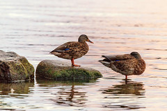 Birds (anderswetterstam) Tags: birds evening light nature water lake shore sleeping couple rocks
